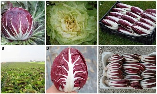Chicory /'/'Brussels Witloof/'/' ~1000 Chicory Belgian Endive Top Quality Seeds