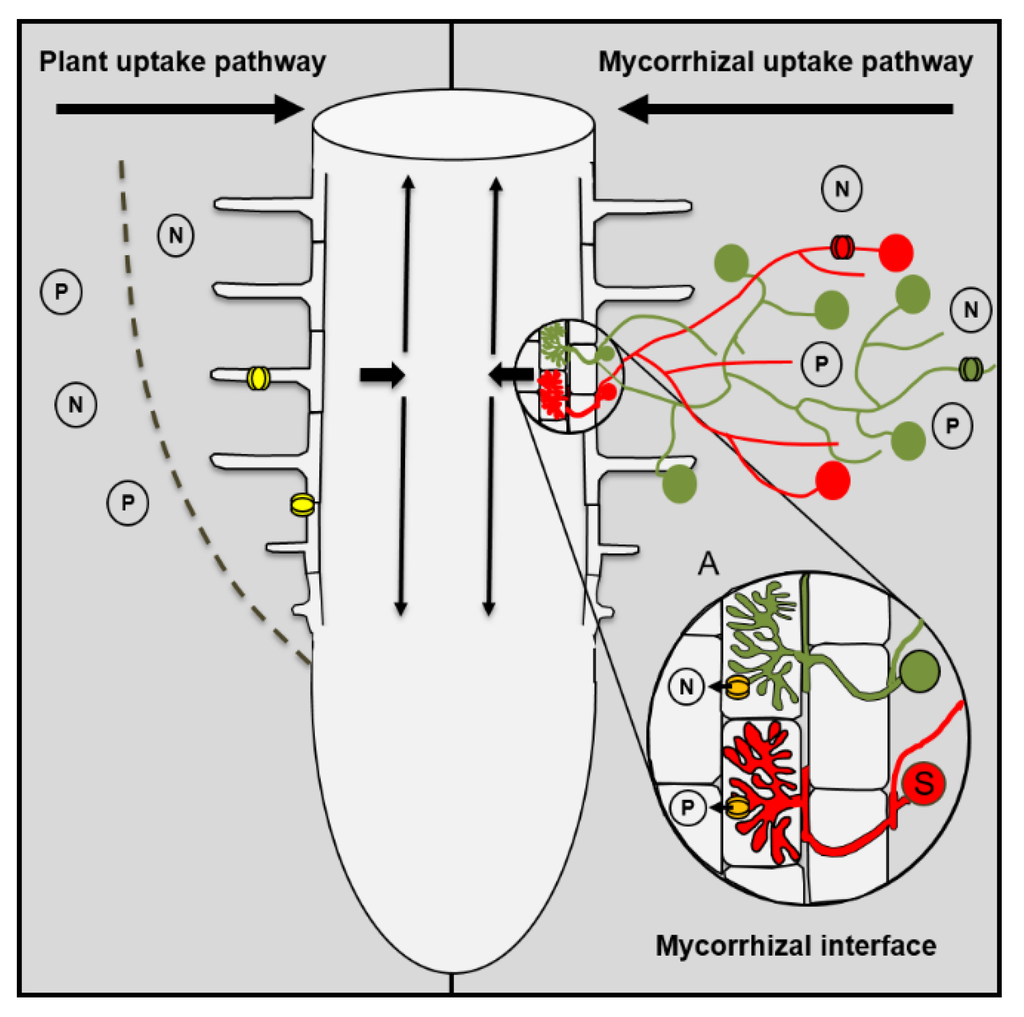 role of mycorrhizal fungi in global Fungi also play an important role in the carbon cycle, the biogeochemical   globally, soil is the biggest single terrestrial reservoir of carbon, far more  most  plants have a symbiotic relationship with mycorrhizal fungi: the fungi.