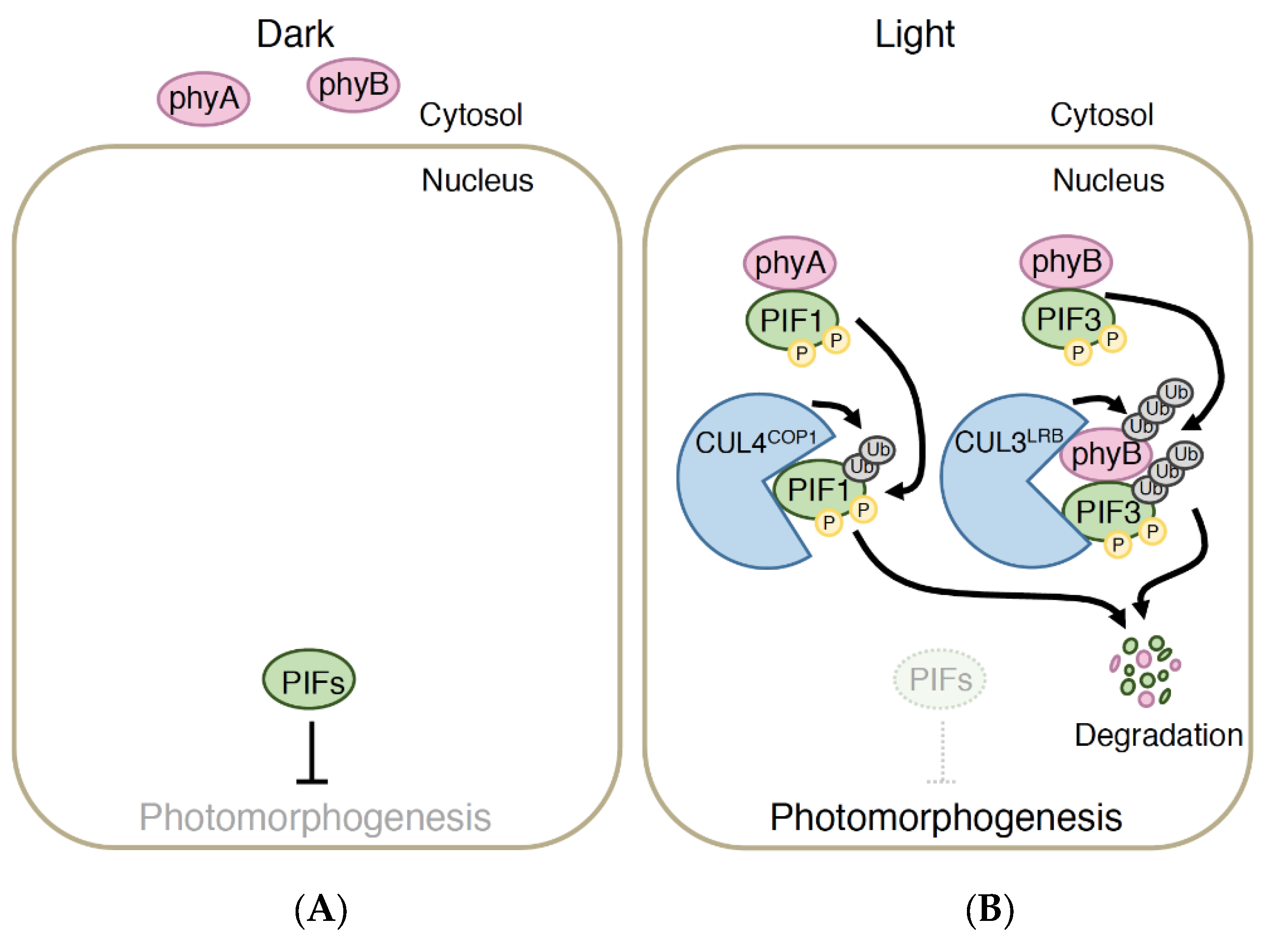 agronomy full text coordination of cryptochrome and agronomy full text coordination of cryptochrome and phytochrome signals in the regulation of plant light responses html