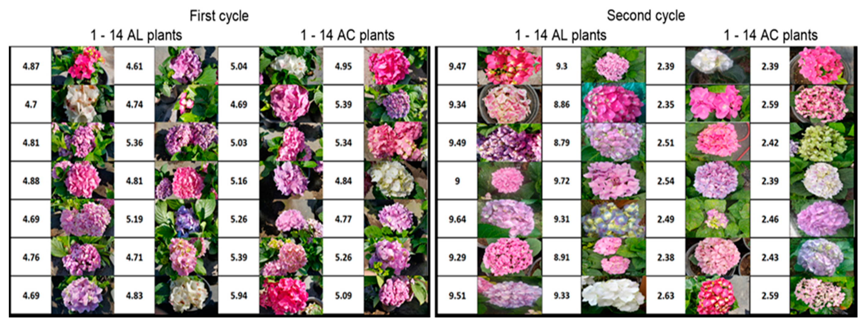Agronomy Free Full Text Hydrangea Dna Methylation Caused By Ph Substrate Changes To Modify Sepal Colour Is Detected By Msap And Issr Markers Html