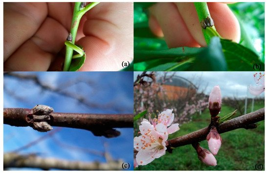 Agronomy Free Full Text Development Of Peach Flower Buds Under Low Winter Chilling Conditions Html