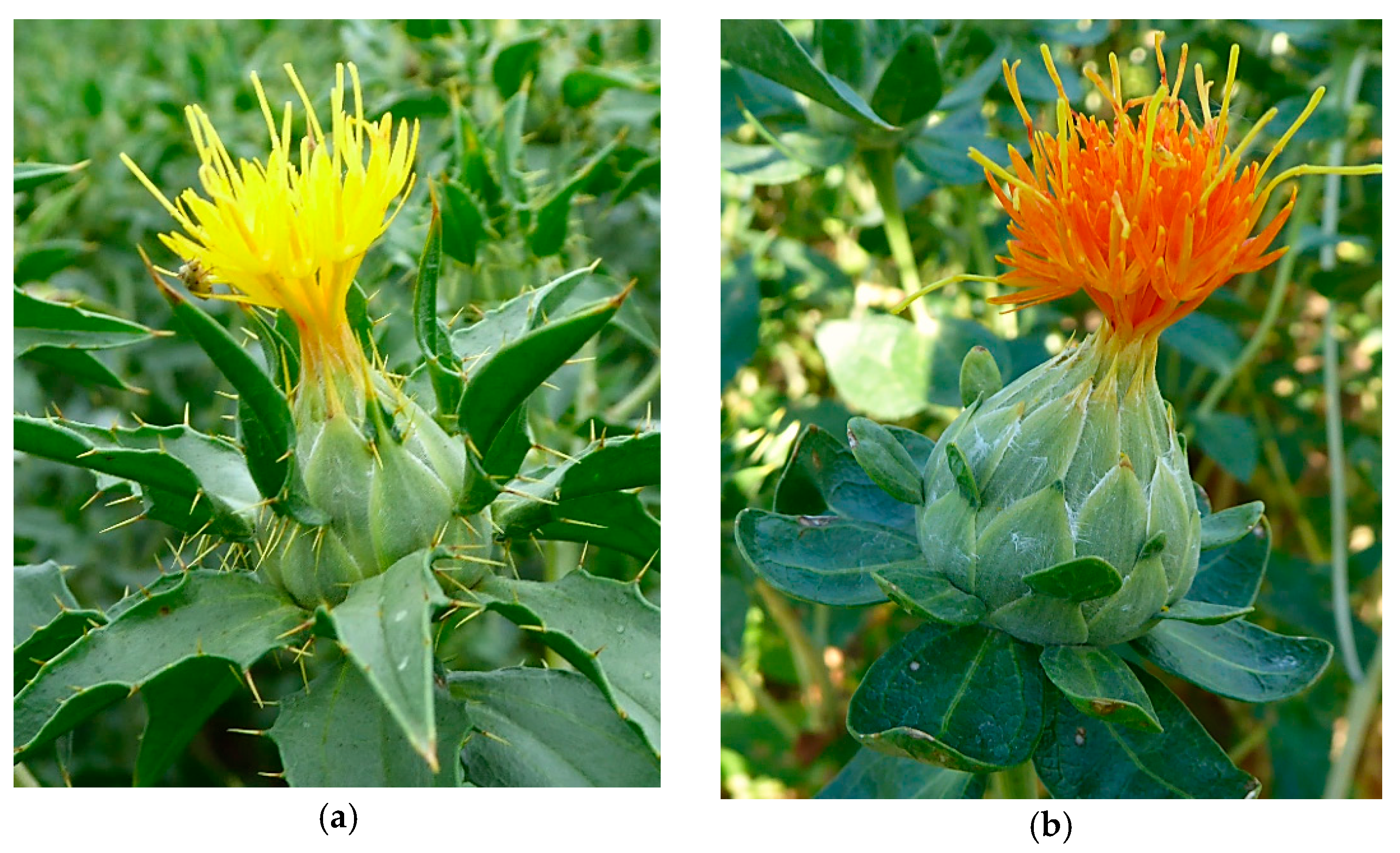 Agronomy Free Full Text Effect Of Row Spacing Sowing Density And Harvest Time On Floret Yield And Yield Components Of Two Safflower Cultivars Grown In Southwestern Germany Html