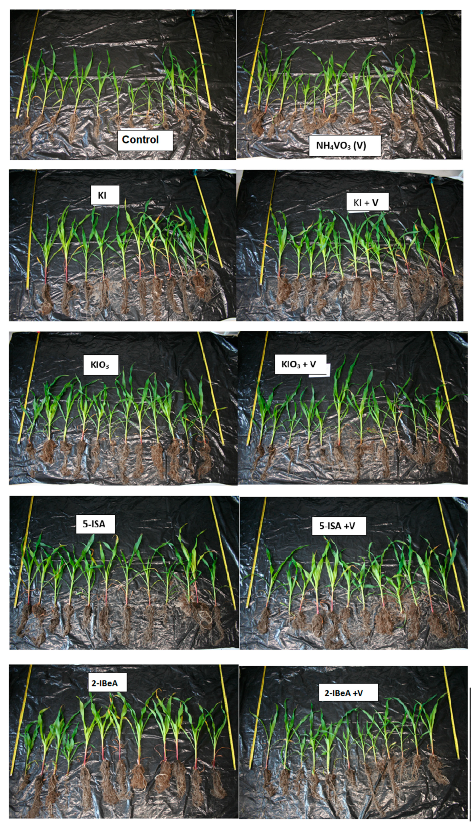 Agronomy Free Full Text Effect Of Vanadium On The Uptake And Distribution Of Organic And Inorganic Forms Of Iodine In Sweetcorn Plants During Early Stage Development Html