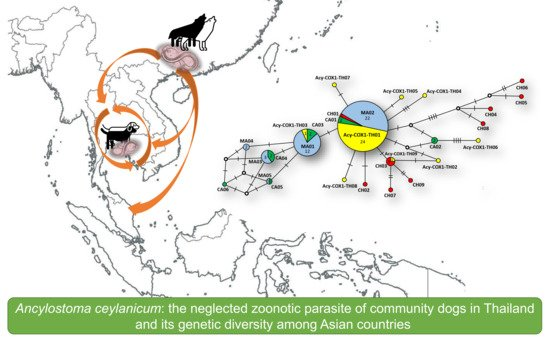 Animals Free Full Text Ancylostoma Ceylanicum The Neglected Zoonotic Parasite Of Community Dogs In Thailand And Its Genetic Diversity Among Asian Countries Html Never miss another show from elliott choy. ancylostoma ceylanicum