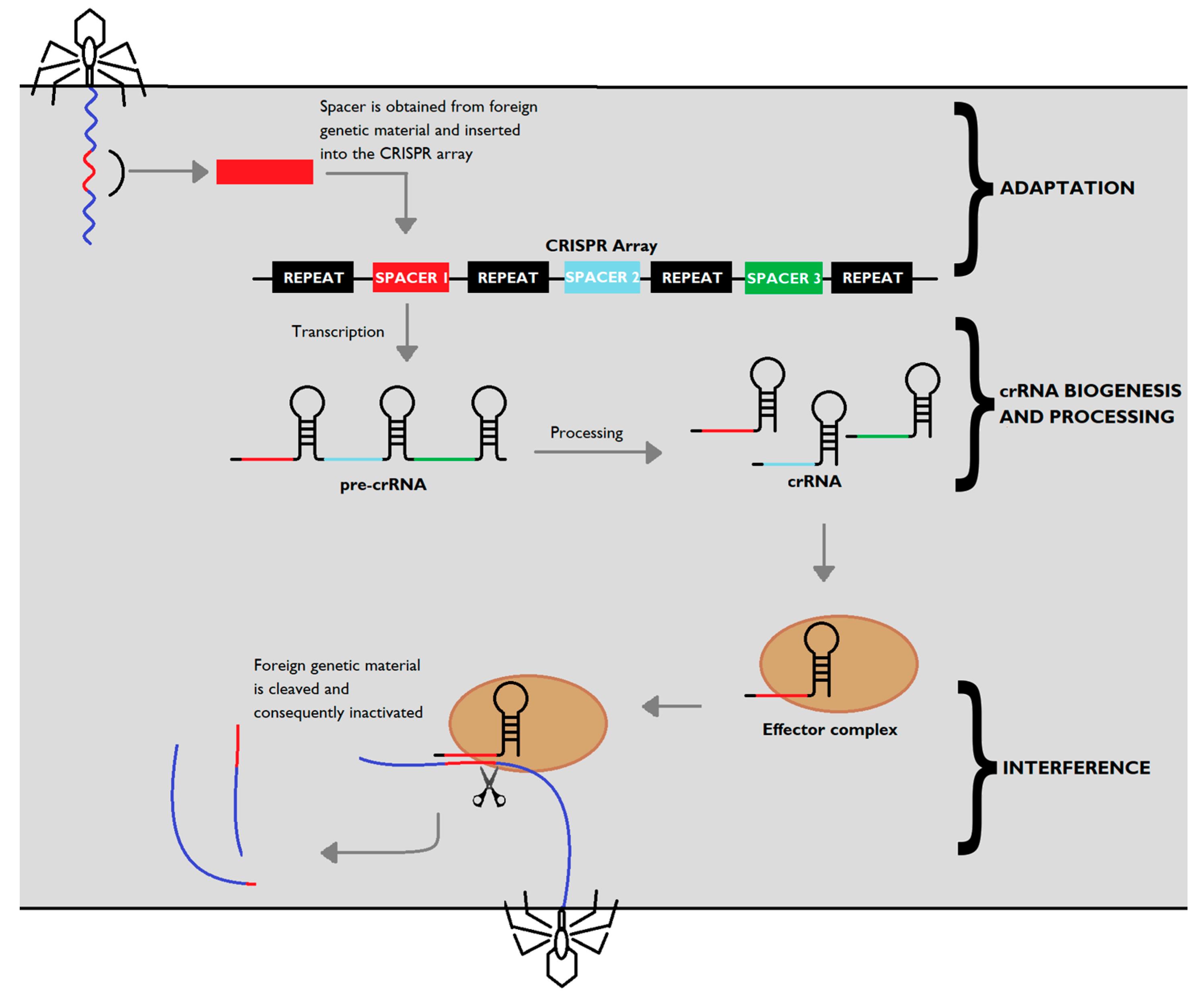 Antibiotics | Free Full-Text | CRISPR-Cas: Converting A Bacterial