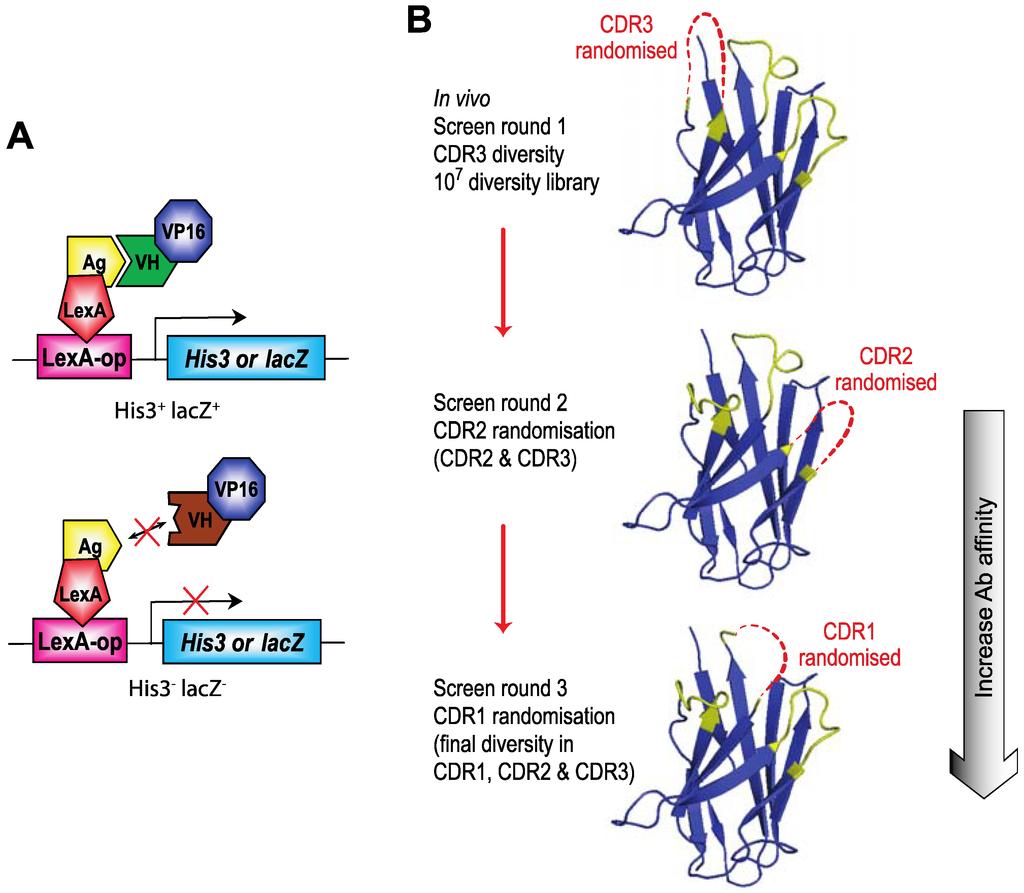 Single Domain Antibody