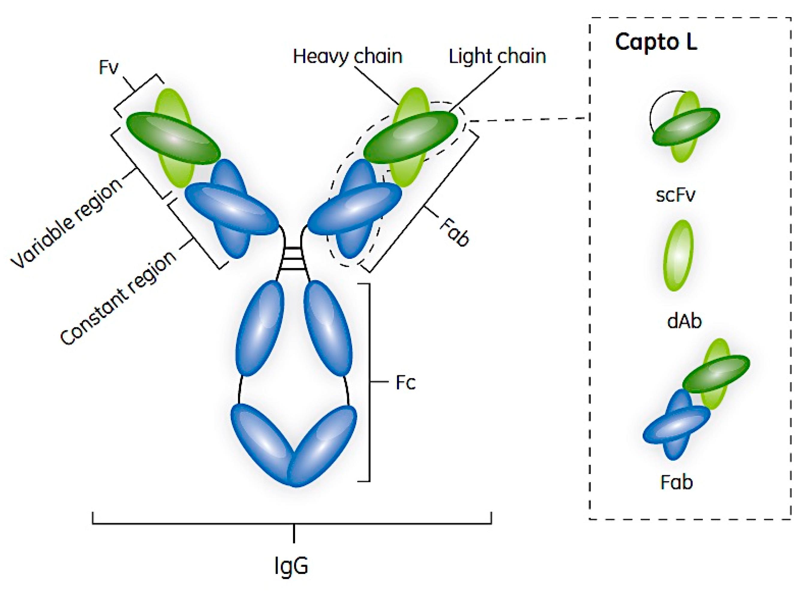 Antibodies | Free Full-Text | Antibody Fragments and Their ...