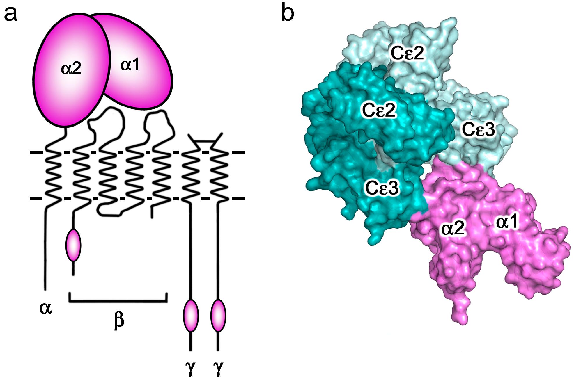 Image result for immunoglobulin e attacking protein