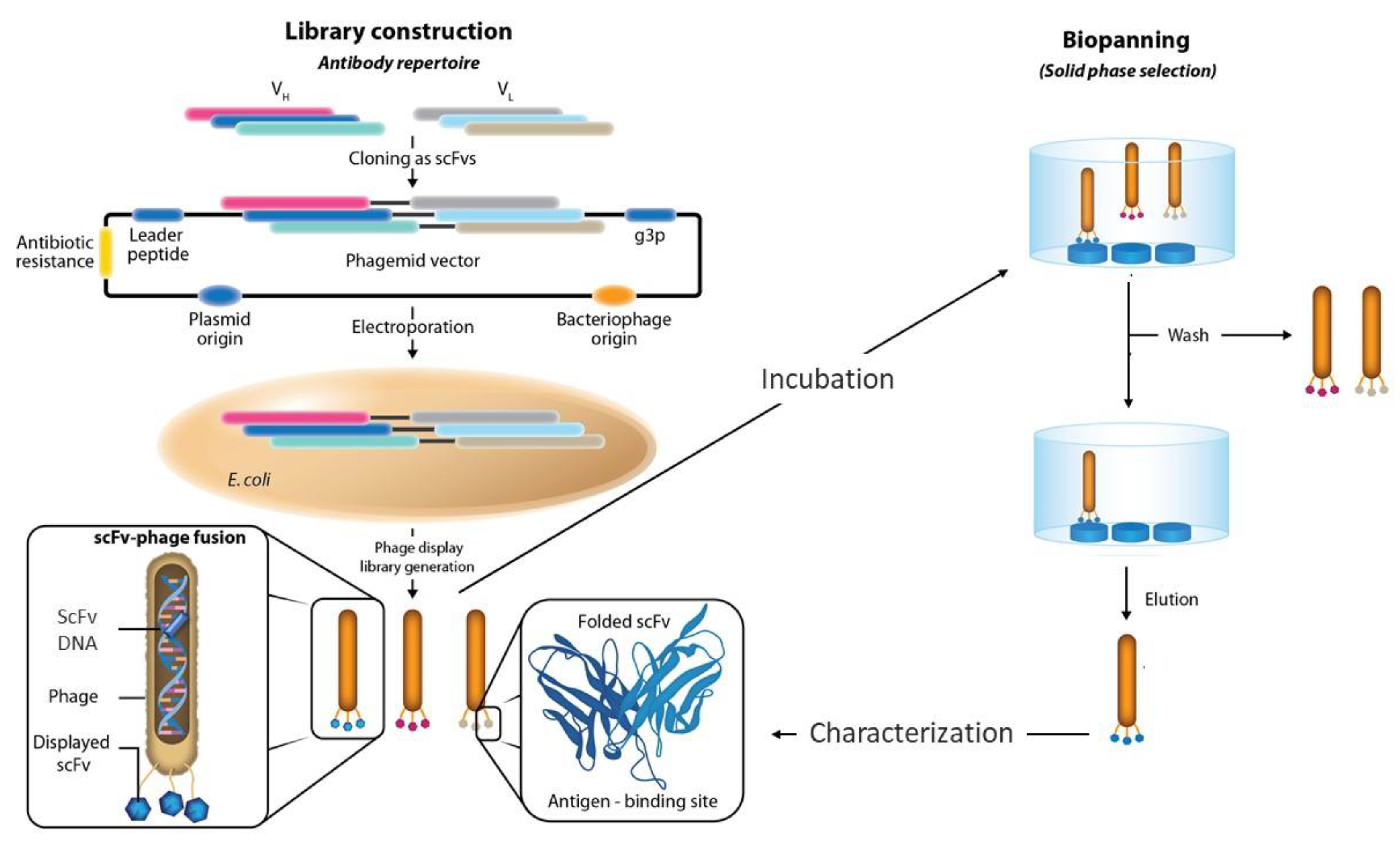 Antibodies | Free Full-Text | Phage Display Libraries for Antibody  Therapeutic Discovery and Development | HTML