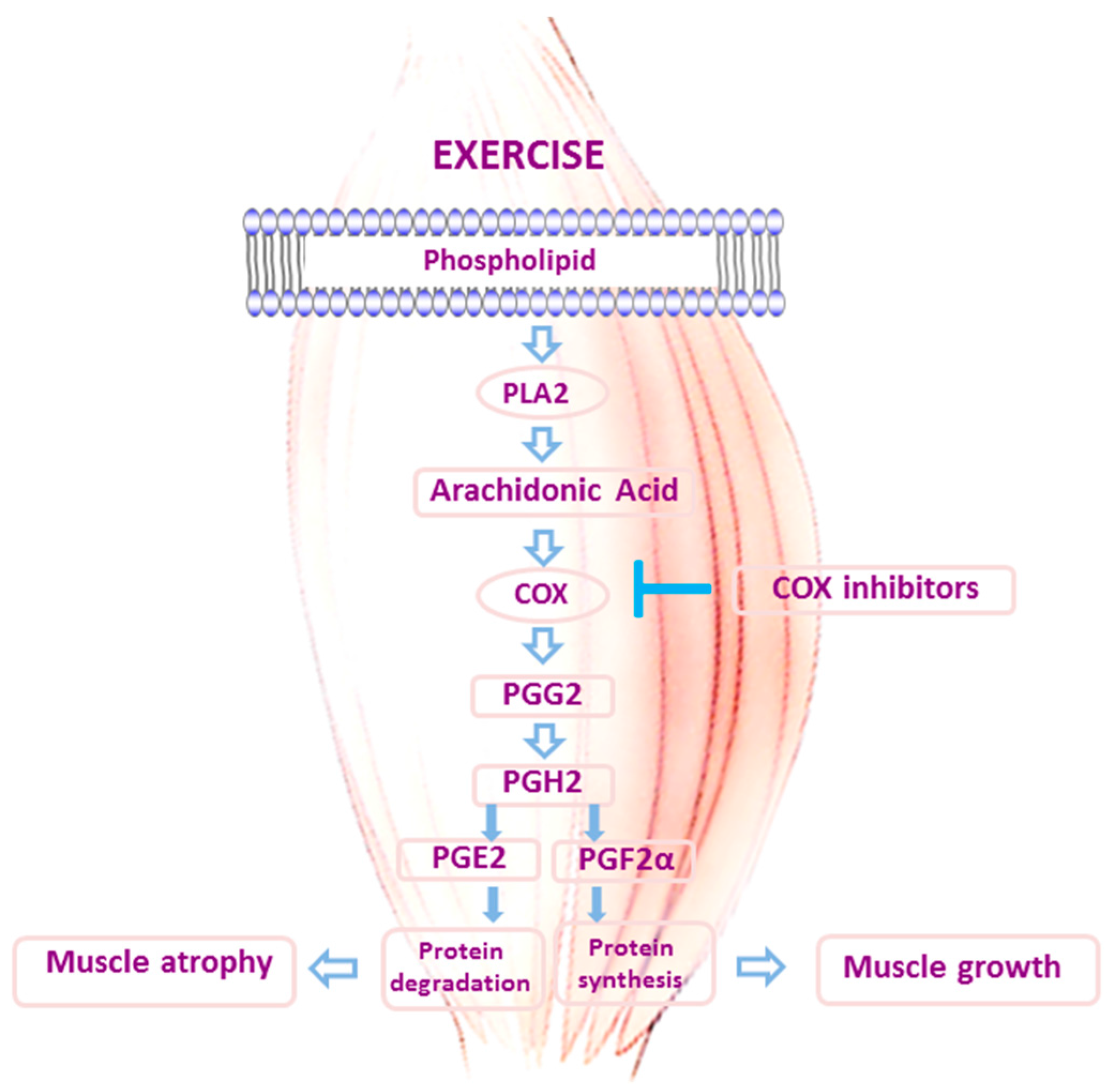 exercise 2 skeletal muscle Here, we review the metabolic responses and molecular mechanisms that underpin the adaptatation of skeletal muscle to acute exercise and exercise training.