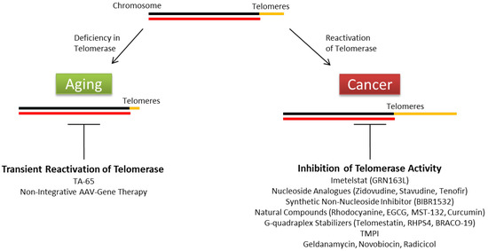 Current Insights to Regulation and Role of Telomerase in Human Diseases