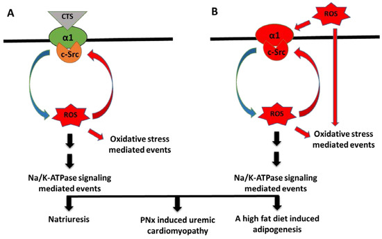 Na-K-ATPase Signaling and Salt Sensitivity: The Role of Oxidative Stress