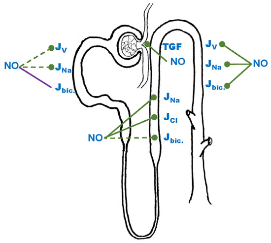 Effects of Reactive Oxygen Species on Tubular Transport along the Nephron