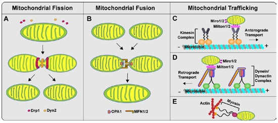 Abnormalities of Mitochondrial Dynamics in Neurodegenerative Diseases