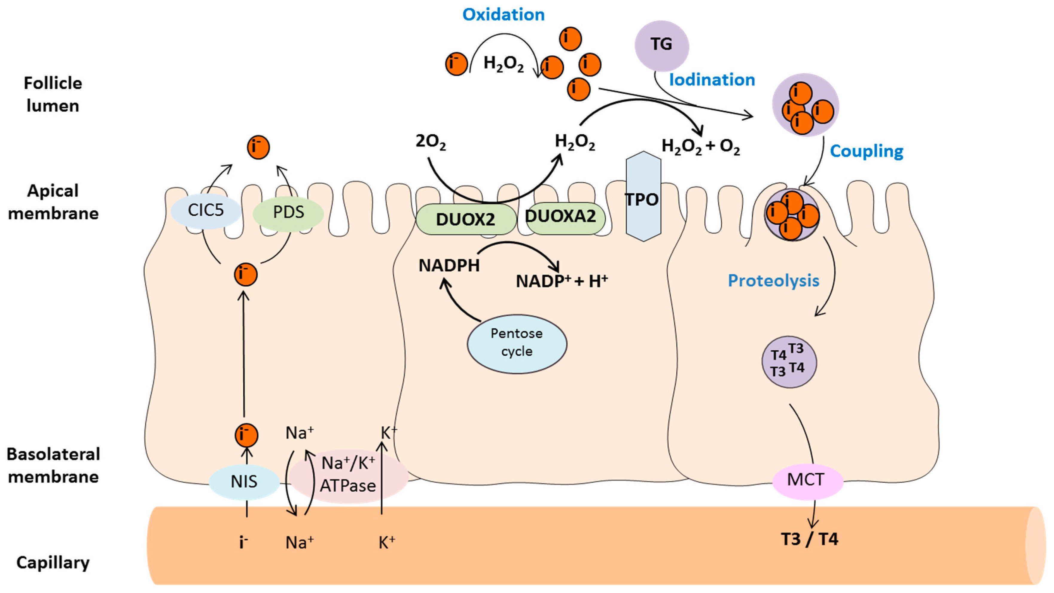 Antioxidants Free Full Text H2o2 Metabolism In Normal Thyroid