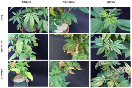 Figure 2. Nutritional disorders of nitrogen (N), phosphorus (P), and calcium (Ca) deficiency in Cannabis sativa 'T1' plants. These pictures display the symptomological progression of nutritional disorders from initial, intermediate, through advanced.