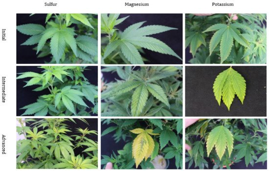 Figure 3. Nutritional disorders of sulfur (S), magnesium (Mg), and potassium (K) deficiency in Cannabis sativa 'T1' plants. These pictures display the symptomological progression of nutritional orders as they progress from initial, intermediate, and advanced.