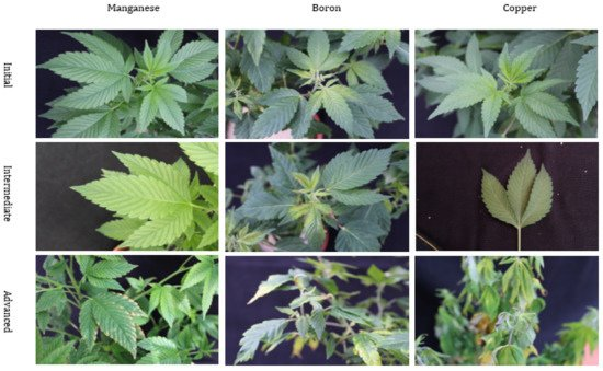 Figure 4. Nutritional disorders of manganese (Mn), boron (B), and copper (Cu) deficiency in Cannabis sativa 'T1' plants. These pictures display the symptomological progression of nutritional orders as they progress from initial, intermediate, and advanced.