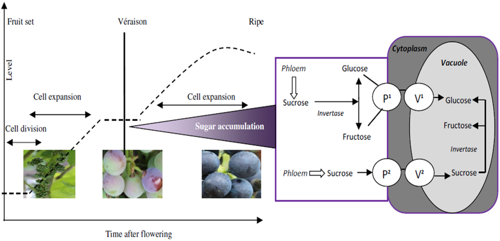 sugar accumulation in grape berries How to get your site included in fetchnews results get indexed by goodgophercom news intelligence powered by goodgophercom, the search engine for truth seekers.