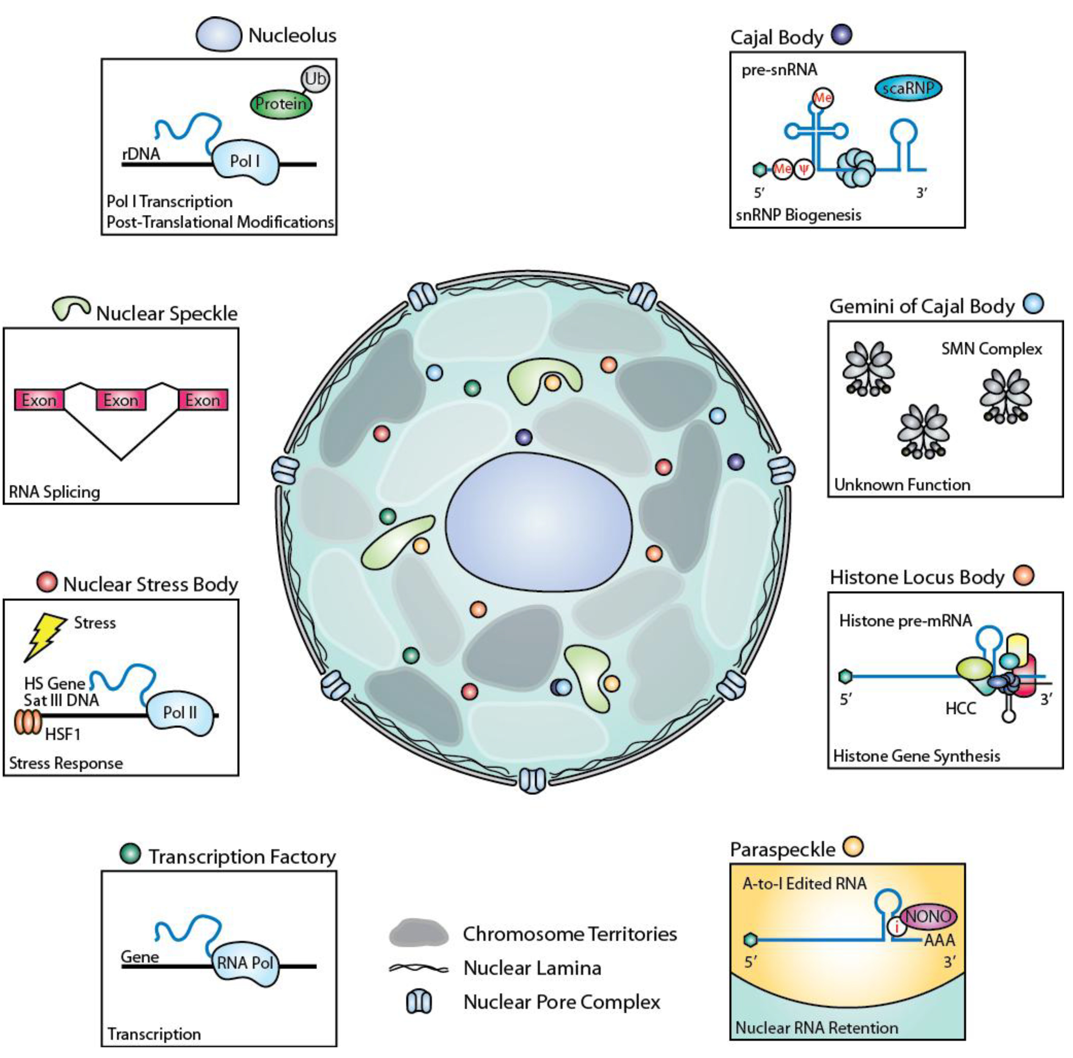 Biology | Free Full-Text | The Role of Nuclear Bodies in Gene ...