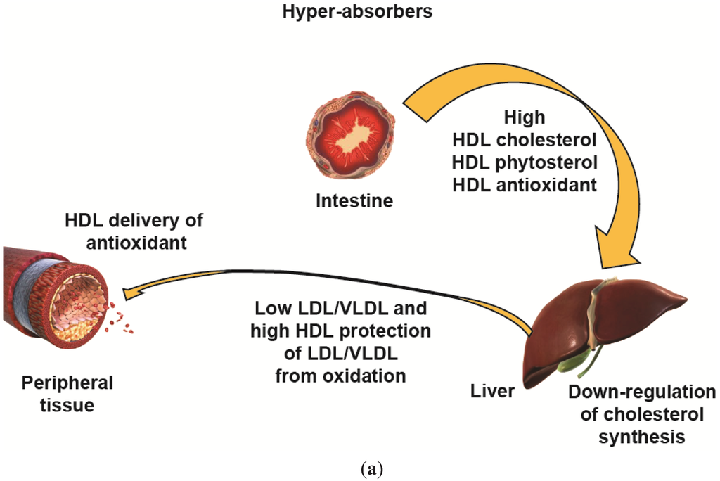 relationship of lipoprotein and macrophages