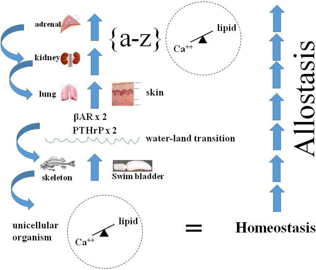 stress and homeostasis Homeostasis and the cascading effects of stress  homeostasis - the state of metabolic equilibrium between the stimulating and the tranquilizing chemical forces in your body.