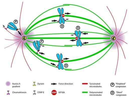 Mechanisms of Chromosome Congression during Mitosis