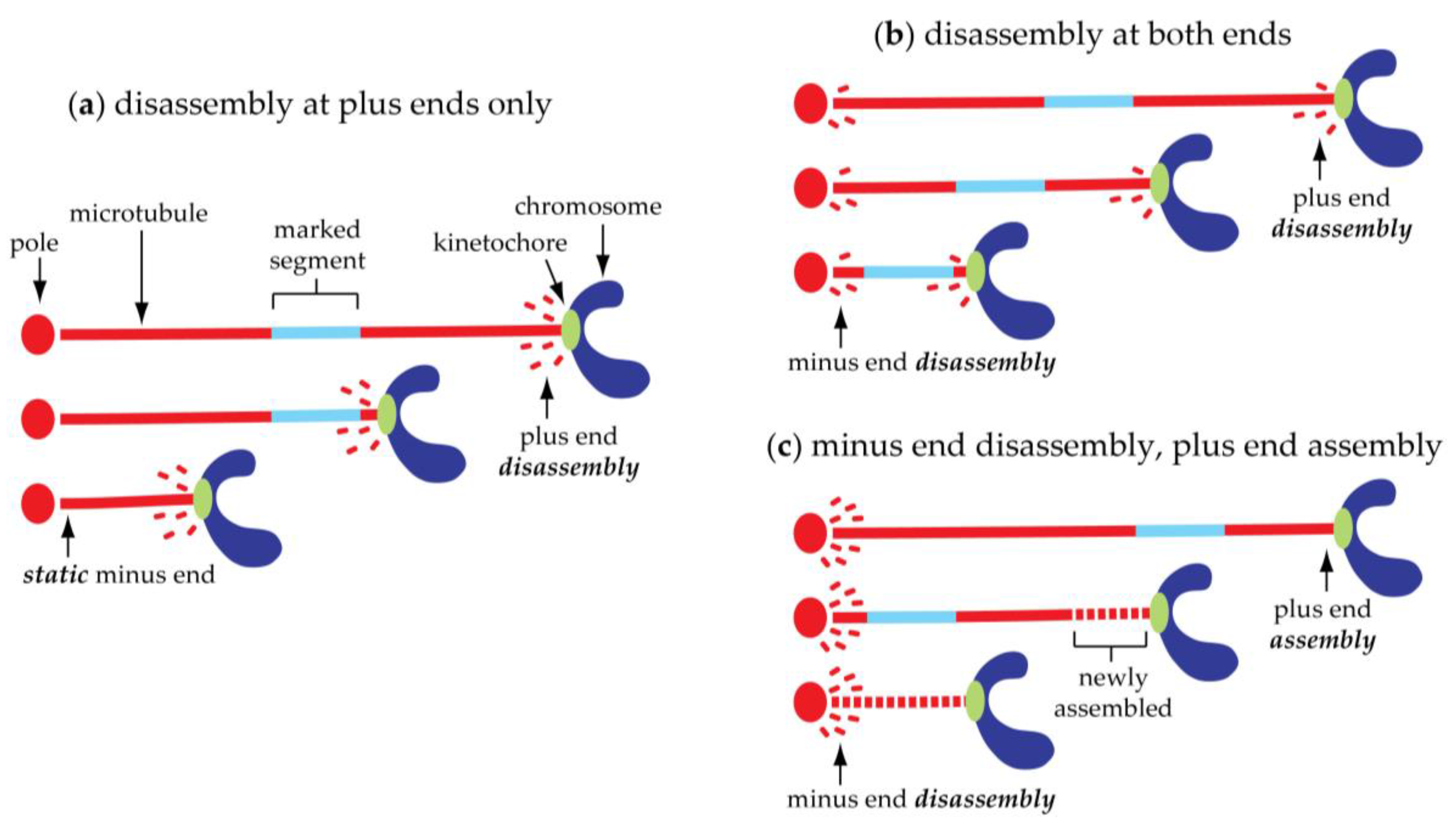 biology 06 00015 g004 biology free full text anaphase a disassembling microtubules