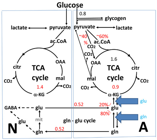 Glutamine-Glutamate Cycle Flux Is Similar in Cultured Astrocytes and Brain and Both Glutamate Production and Oxidation Are Mainly Catalyzed by Aspartate Aminotransferase