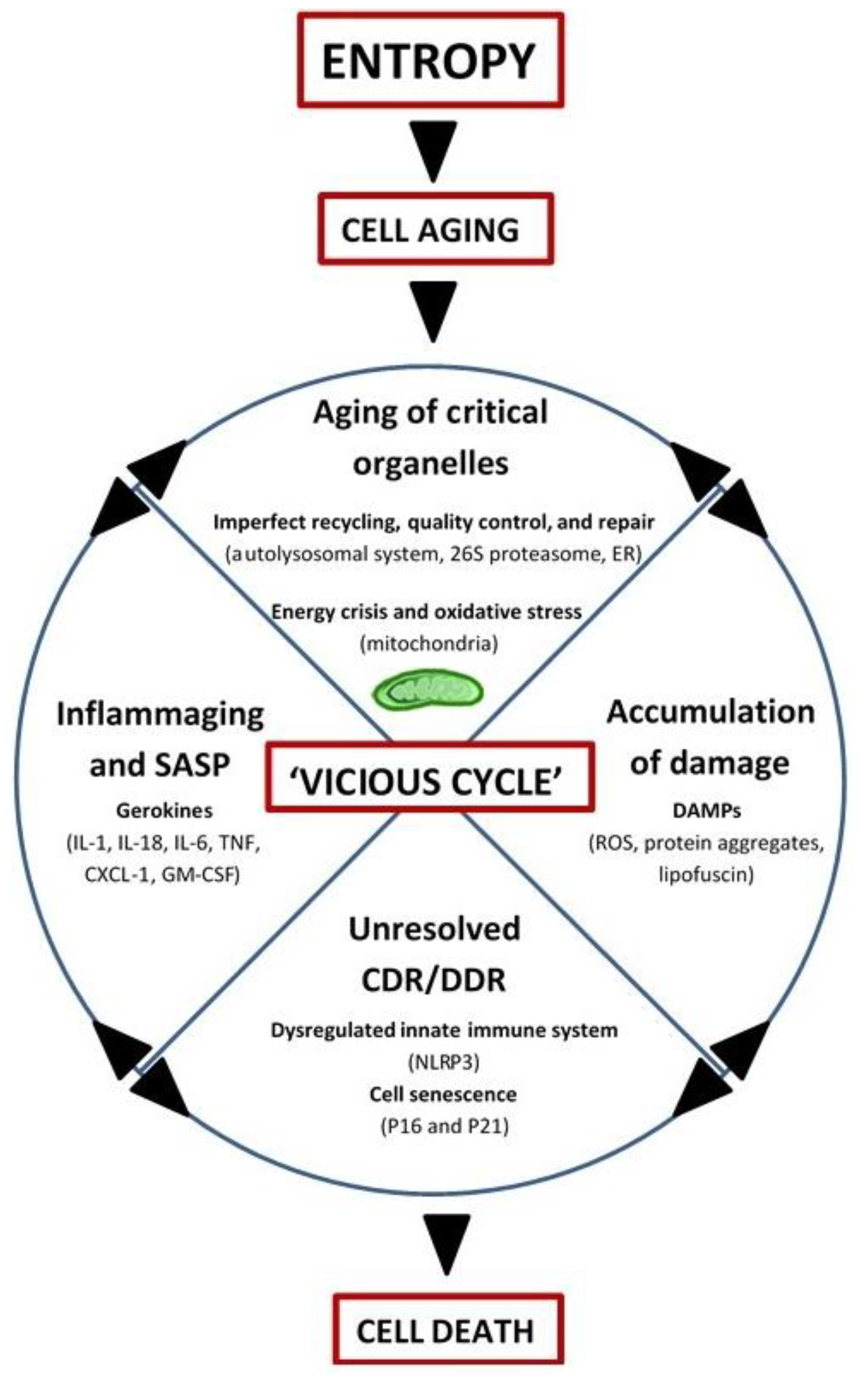 Impaired Recycling Of Mitochondria In >> Biology Free Full Text Mitochondria And Aging The Role
