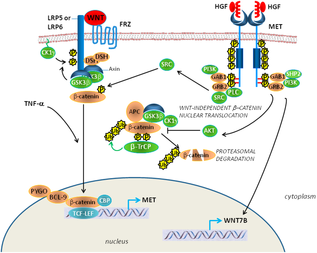 Photo Activated Wnt Catenin Signaling In Melanoma Is Images