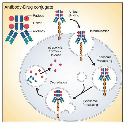 The Clinical Landscape of Antibody-drug Conjugates - ADC