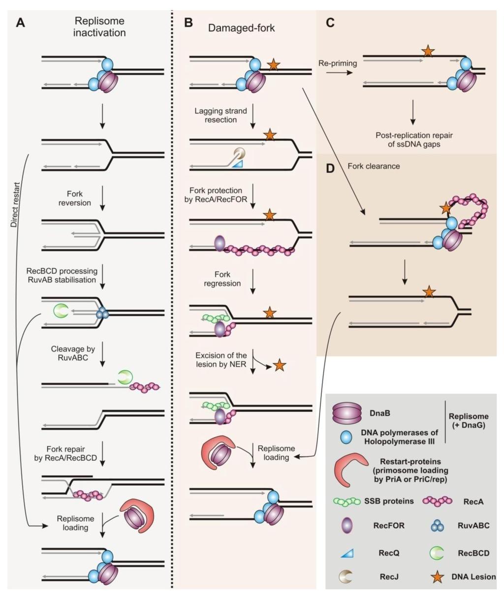 Pathway Central: DNA Repair Mechanisms - SABiosciences