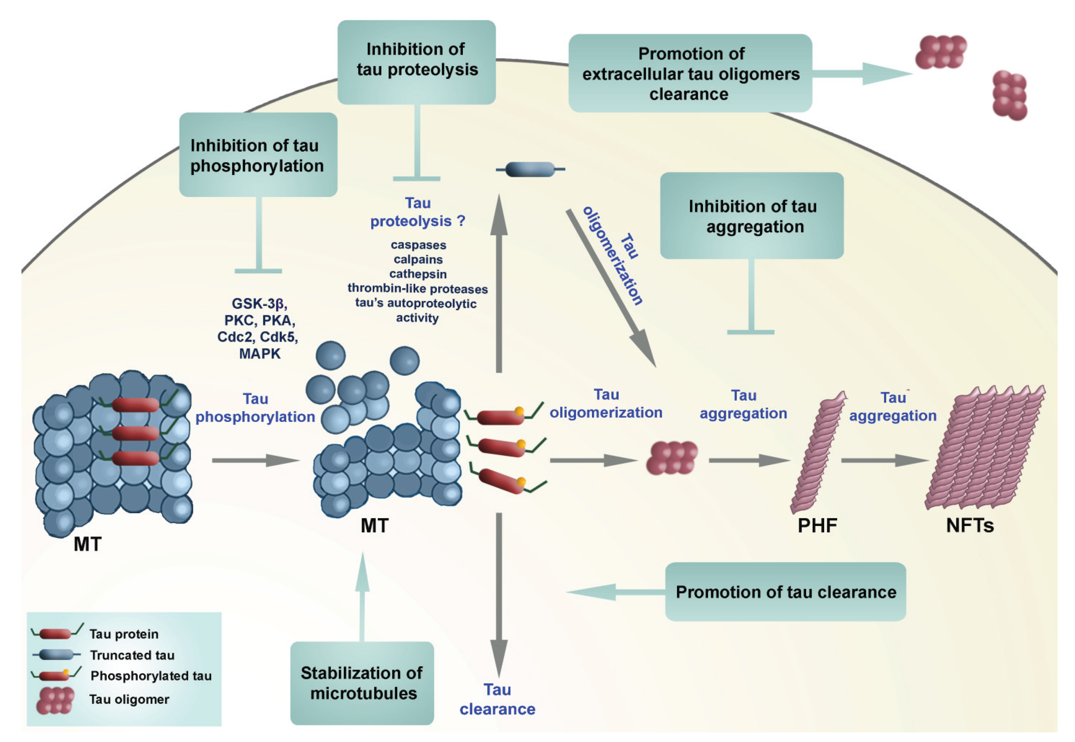 Models of β-amyloid induced Tau-pathology: the long and