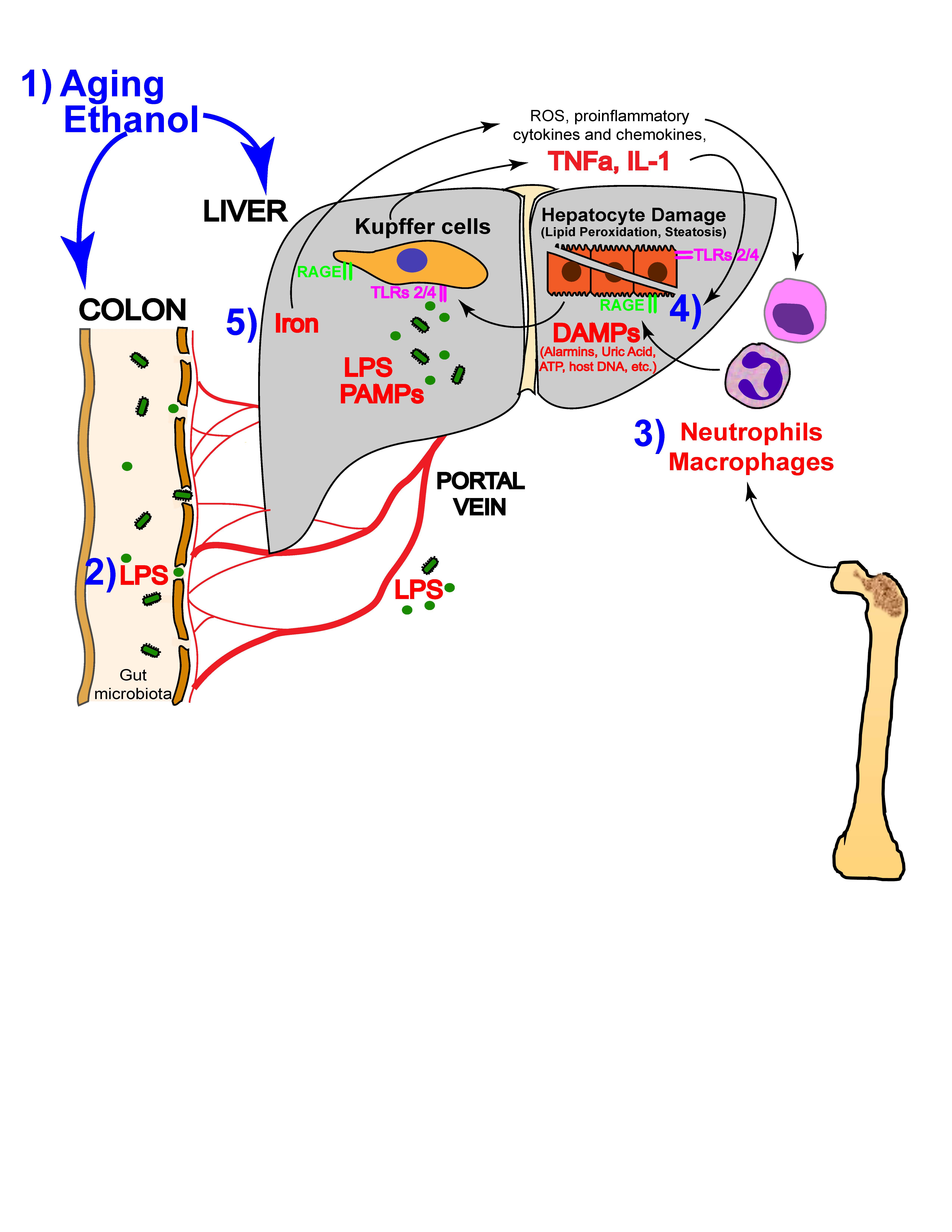 alcoholic liver disease literature review biology essay Alcohol is an international, peer-reviewed journal that is devoted to publishing multi-disciplinary biomedical research on all aspects of the actions or effects of alcohol on the nervous system or on.