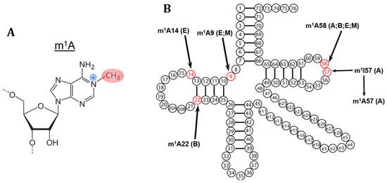 Biomolecules Free Full Text M1A Post Transcriptional