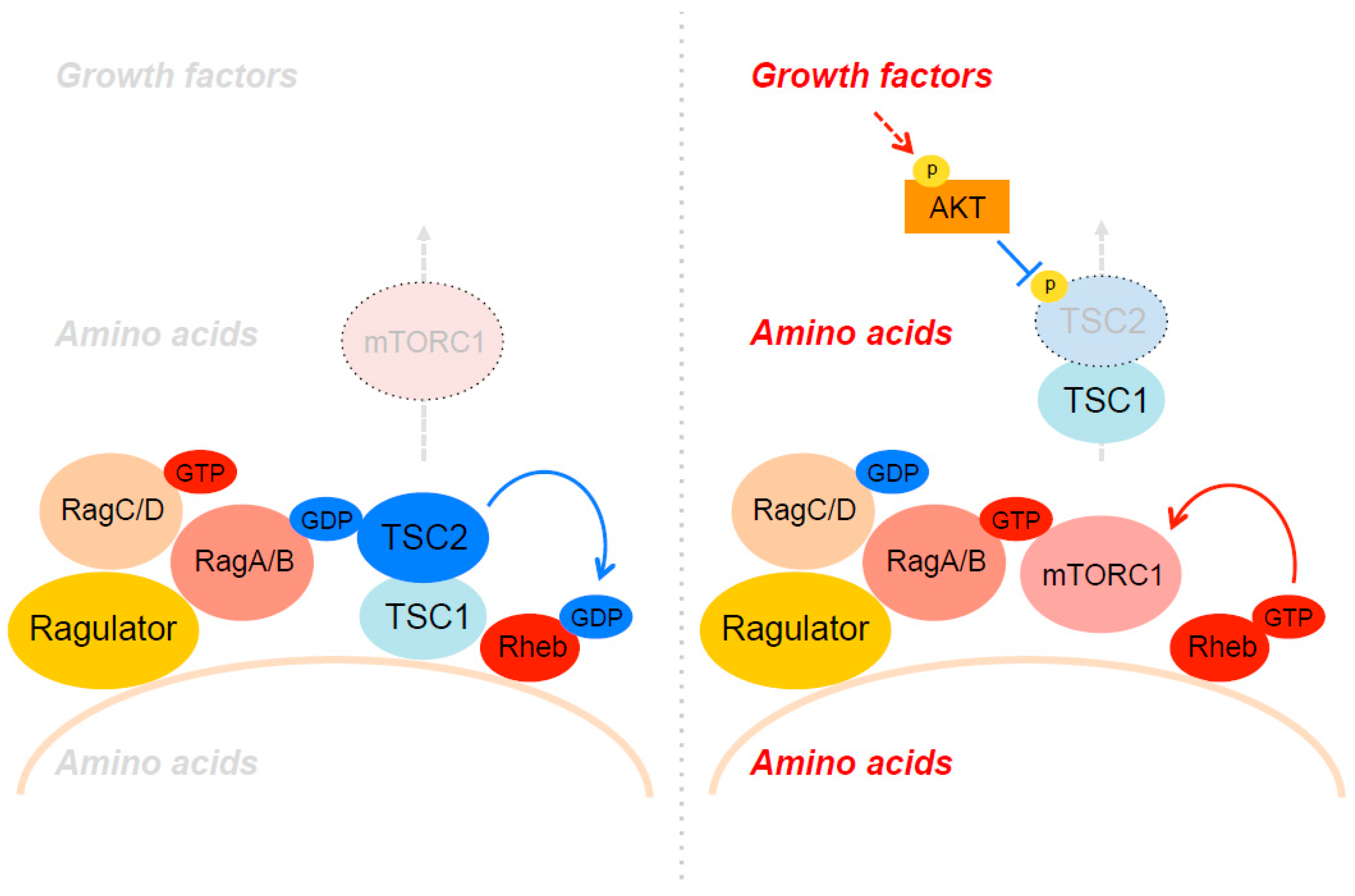 Biomolecules | Free Full Text | Lysosomal Regulation Of MTORC1 By Amino  Acids In Mammalian Cells | HTML
