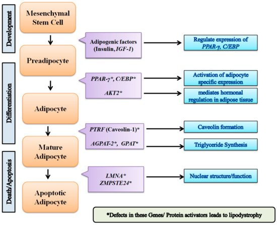 biomolecules free full text genetics of lipodystrophy can it help in understanding the pathophysiology of metabolic syndrome