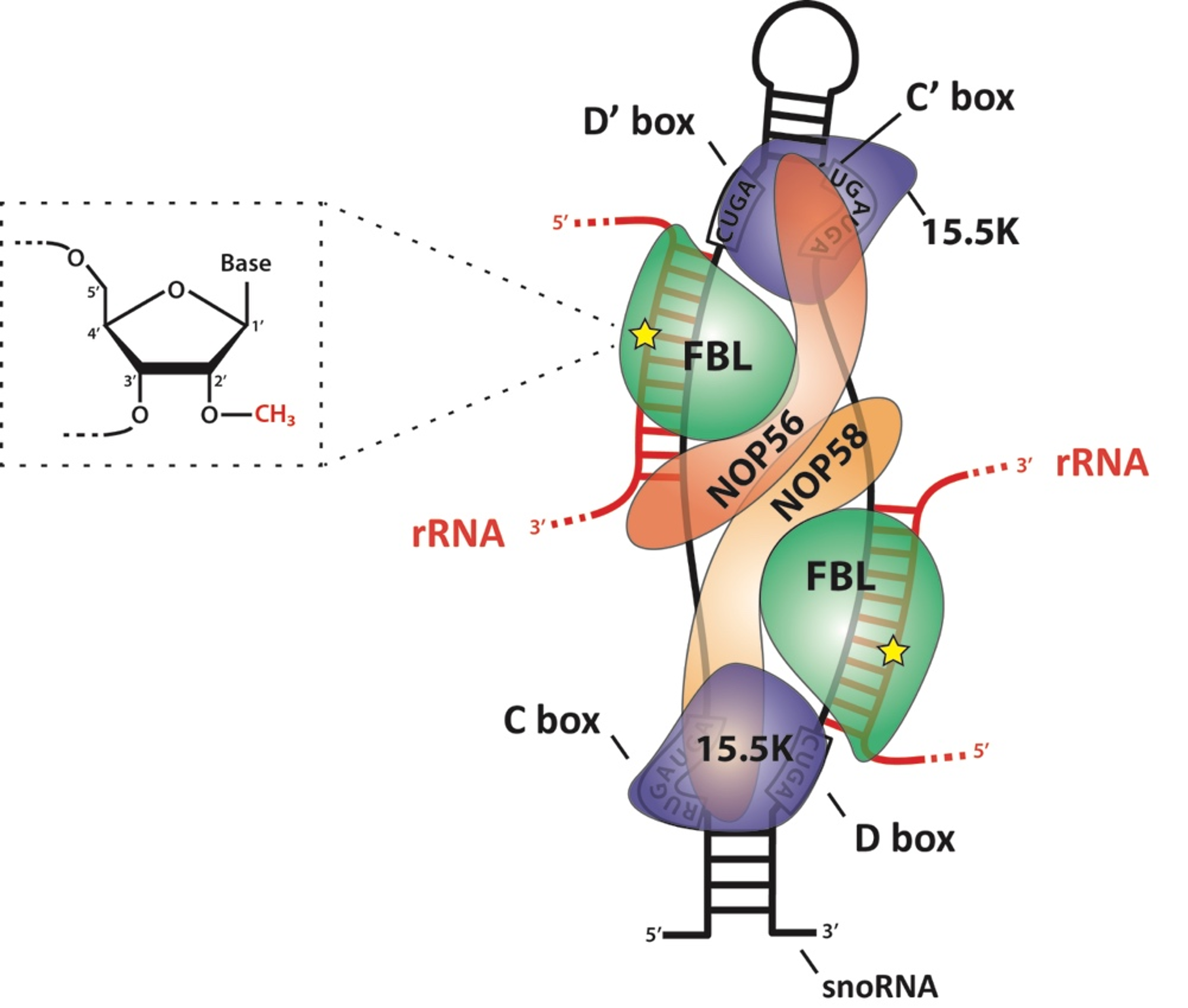 biomolecules 08 00106 g001 biomolecules free full text 2\u2032 o methylation of ribosomal rna