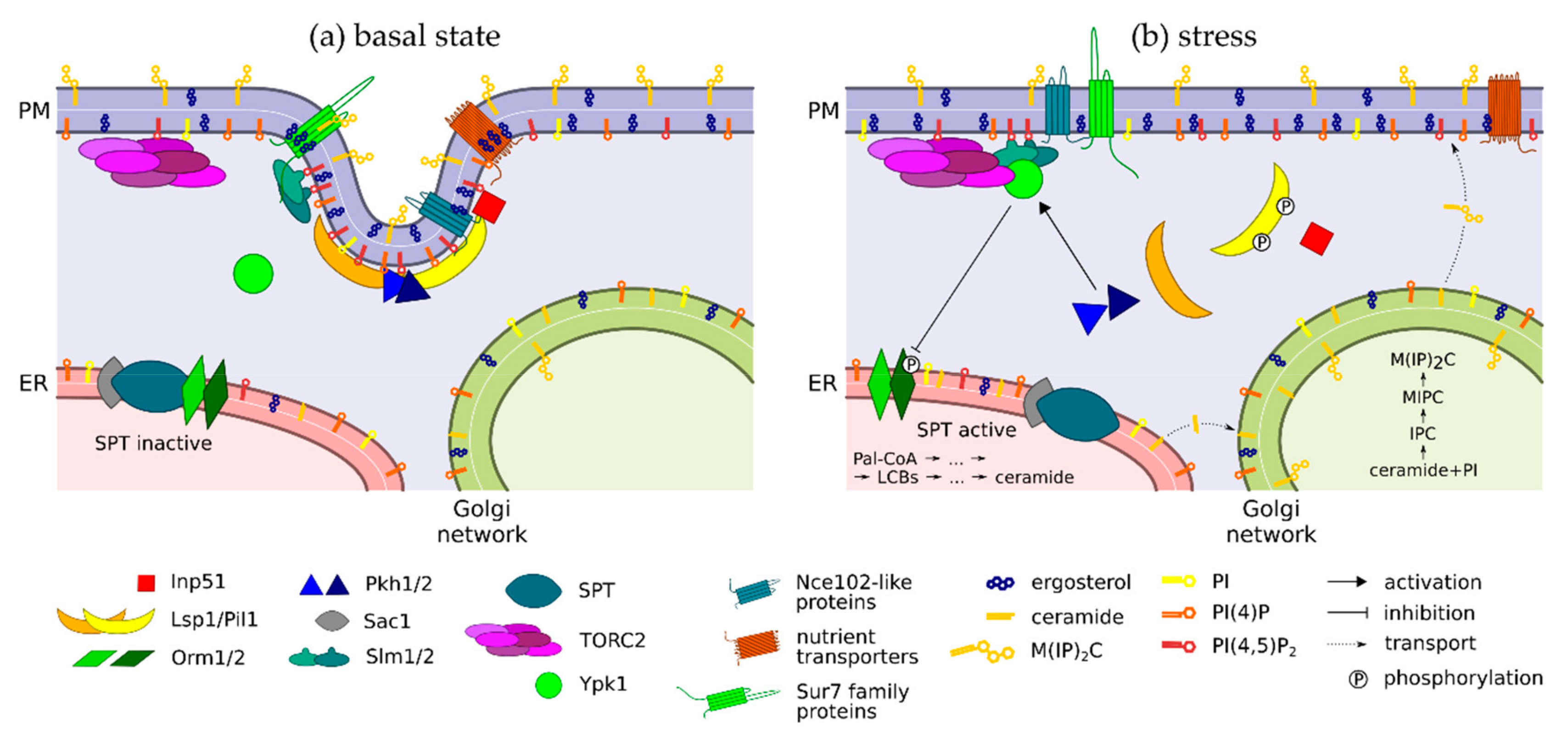 Biomolecules | Free Full-Text | Role of MCC/Eisosome in