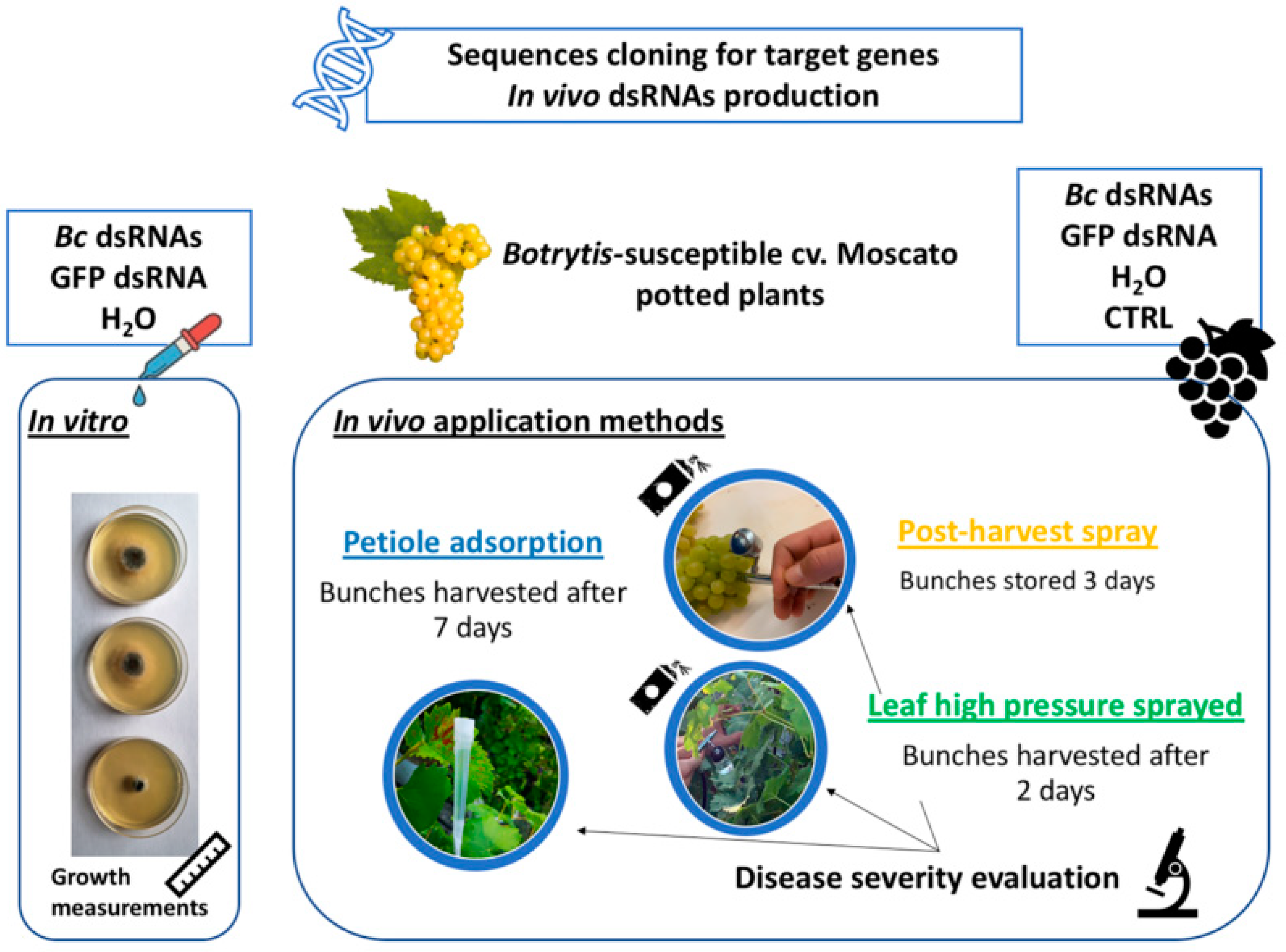Biomolecules Free Full Text Double Stranded Rnas Dsrnas As A Sustainable Tool Against Gray Mold Botrytis Cinerea In Grapevine Effectiveness Of Different Application Methods In An Open Air Environment Html