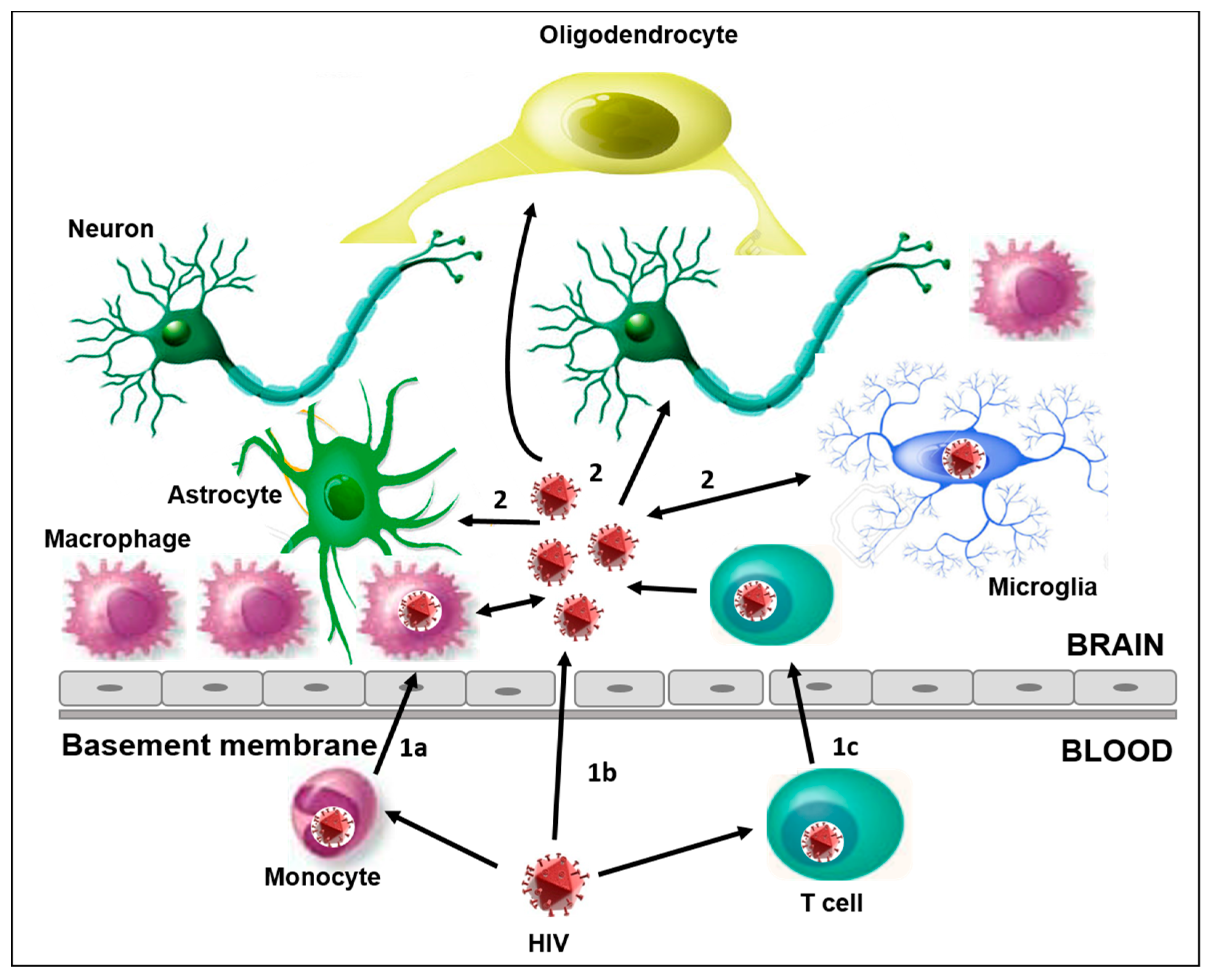 Brain Sciences | Free Full-Text | The Role of HIV Infection in Neurologic Injury | HTML