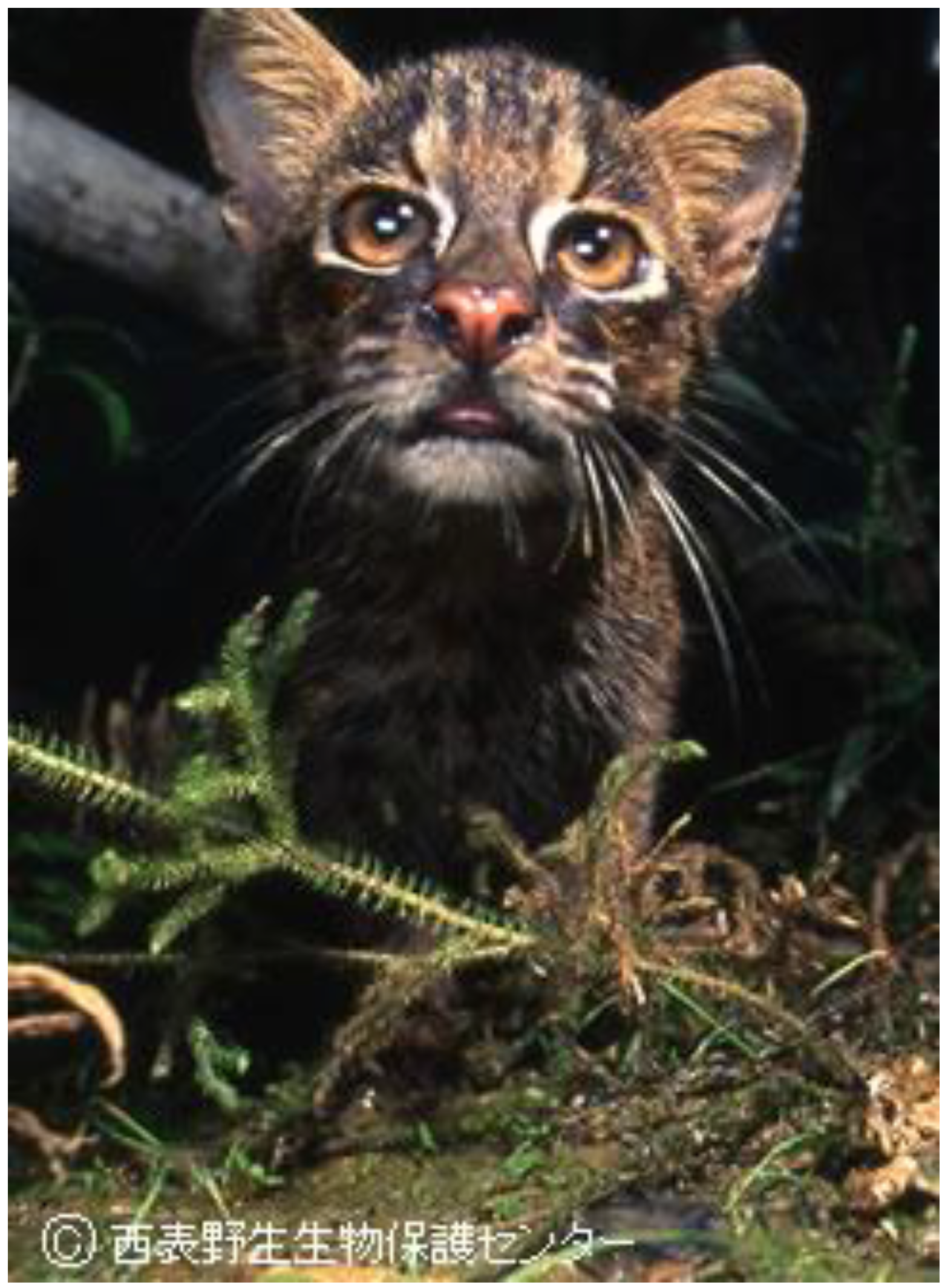 endangered animal iriomote wild cat essay Category: environment environmental pollution essay title: environment essay: we can stop the extinction of endangered species.