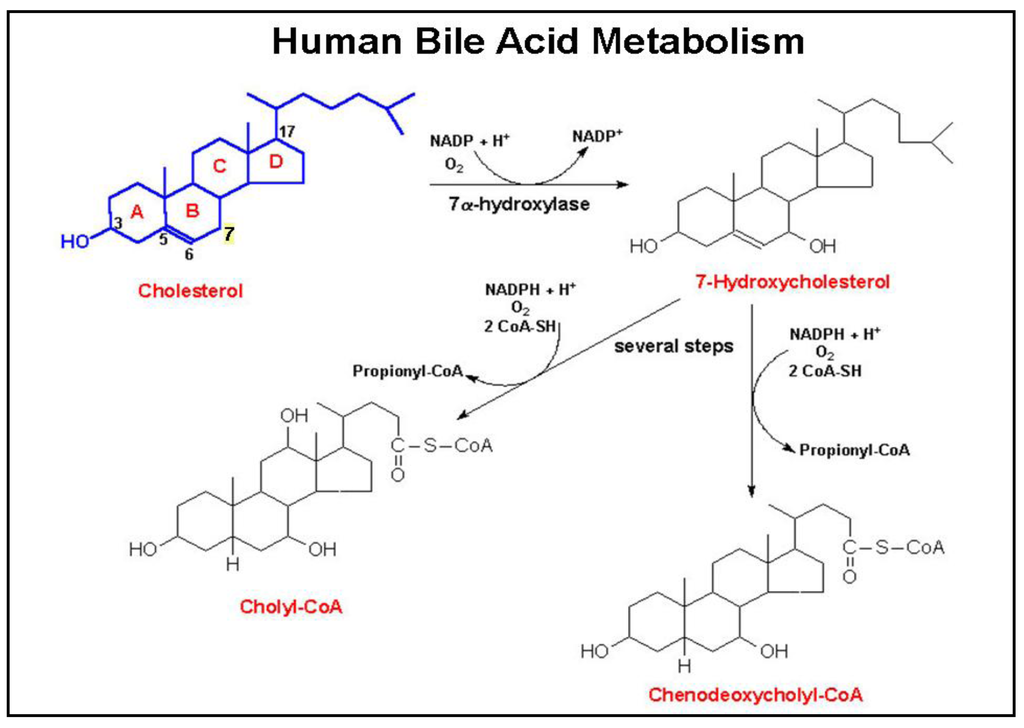 biosynthesis of steroids from squalene