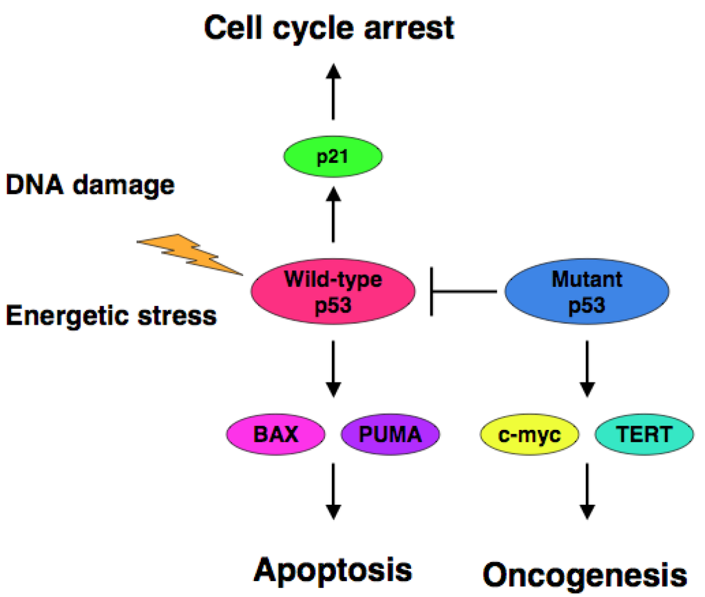 Cancers | Free Full-Text | Role of p53 in Cell Death and ...