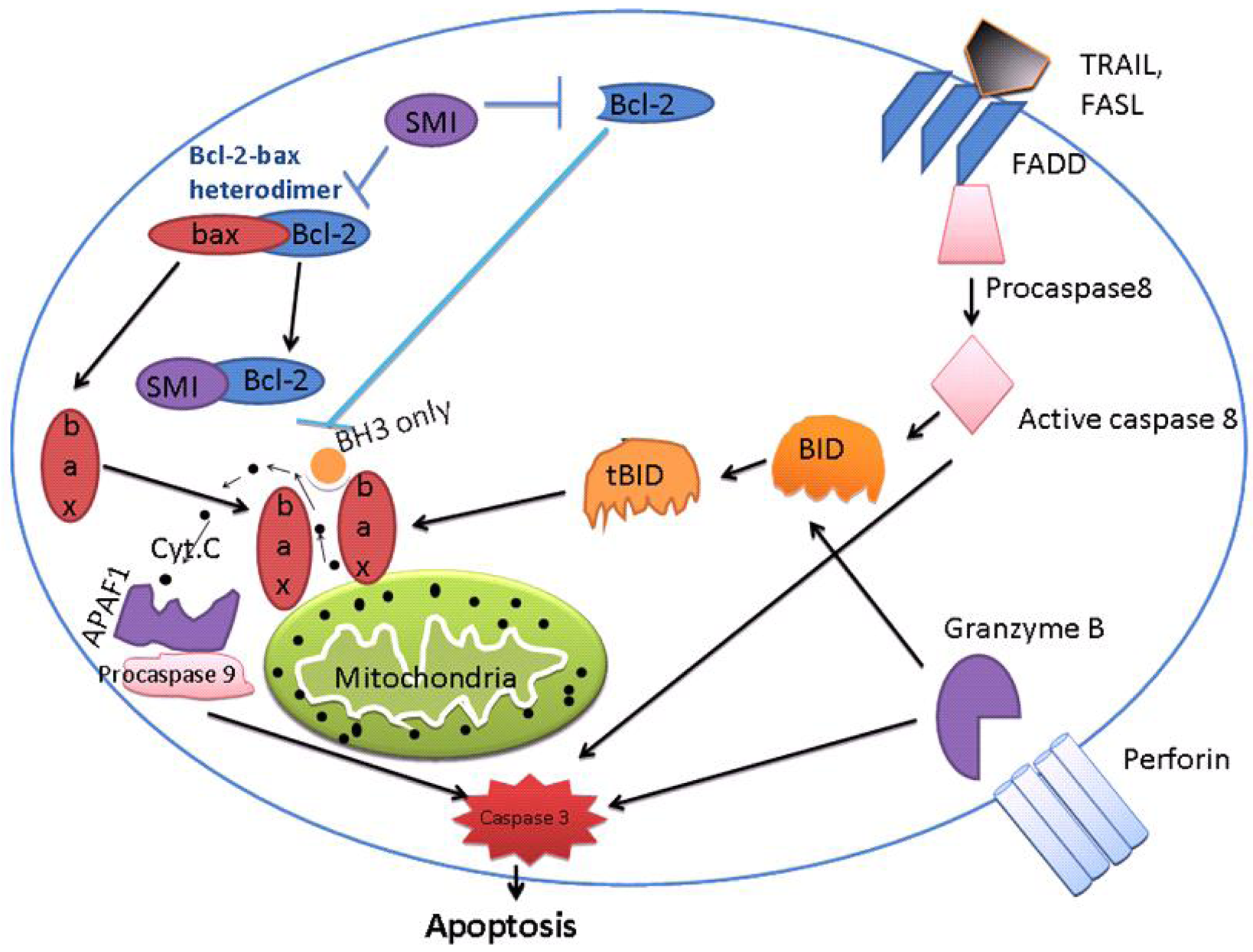 strong/strong br/ caption p The Apoptotic Process.