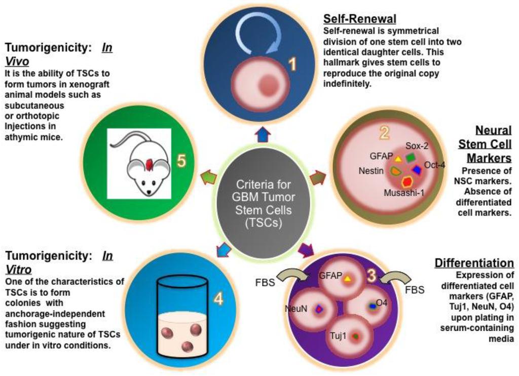 Cancers | Free Full-Text | Glioblastoma Stem-Like Cells ...