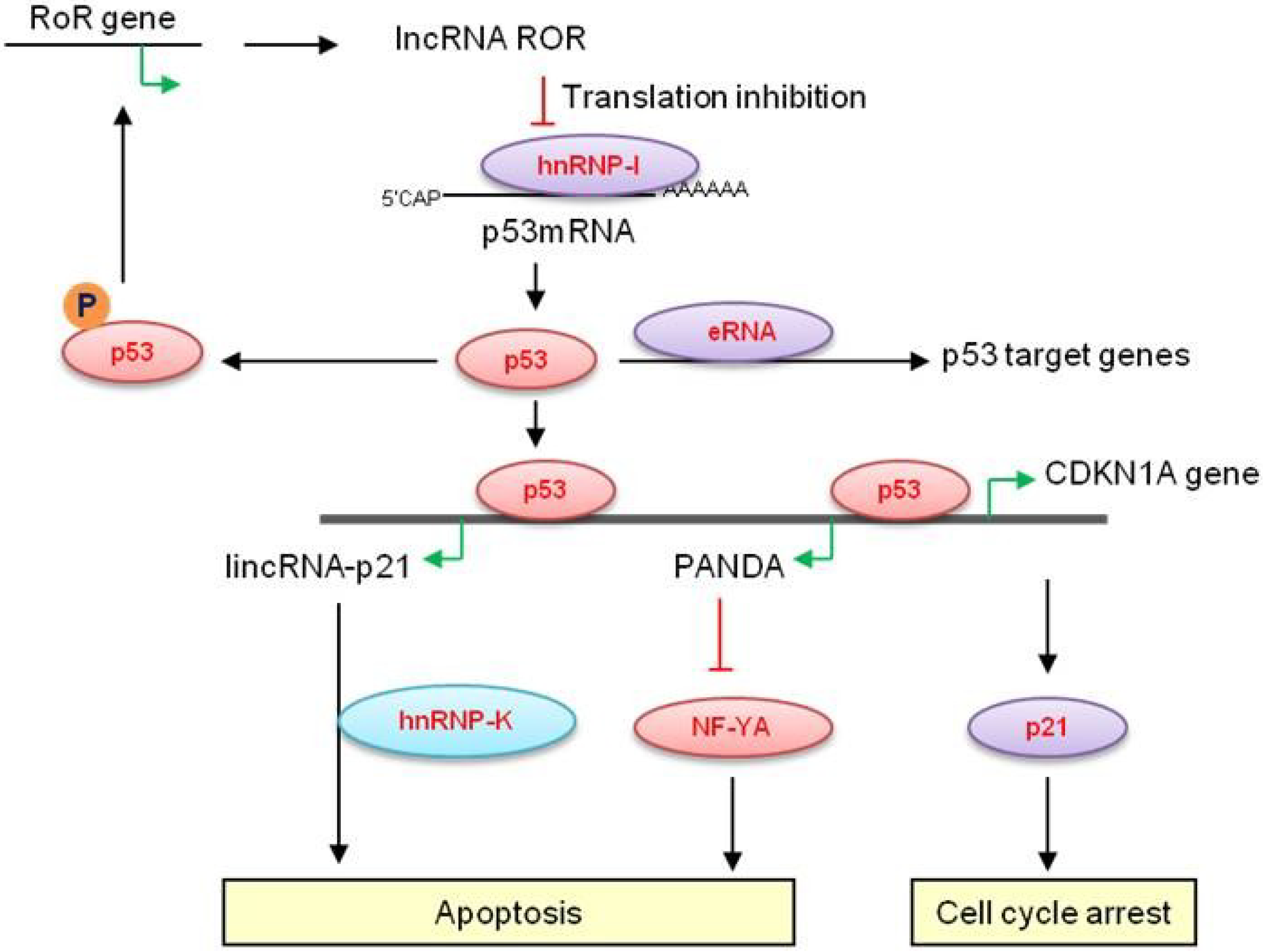 Cancers Free Full Text Long Non Coding Rnas Embedded