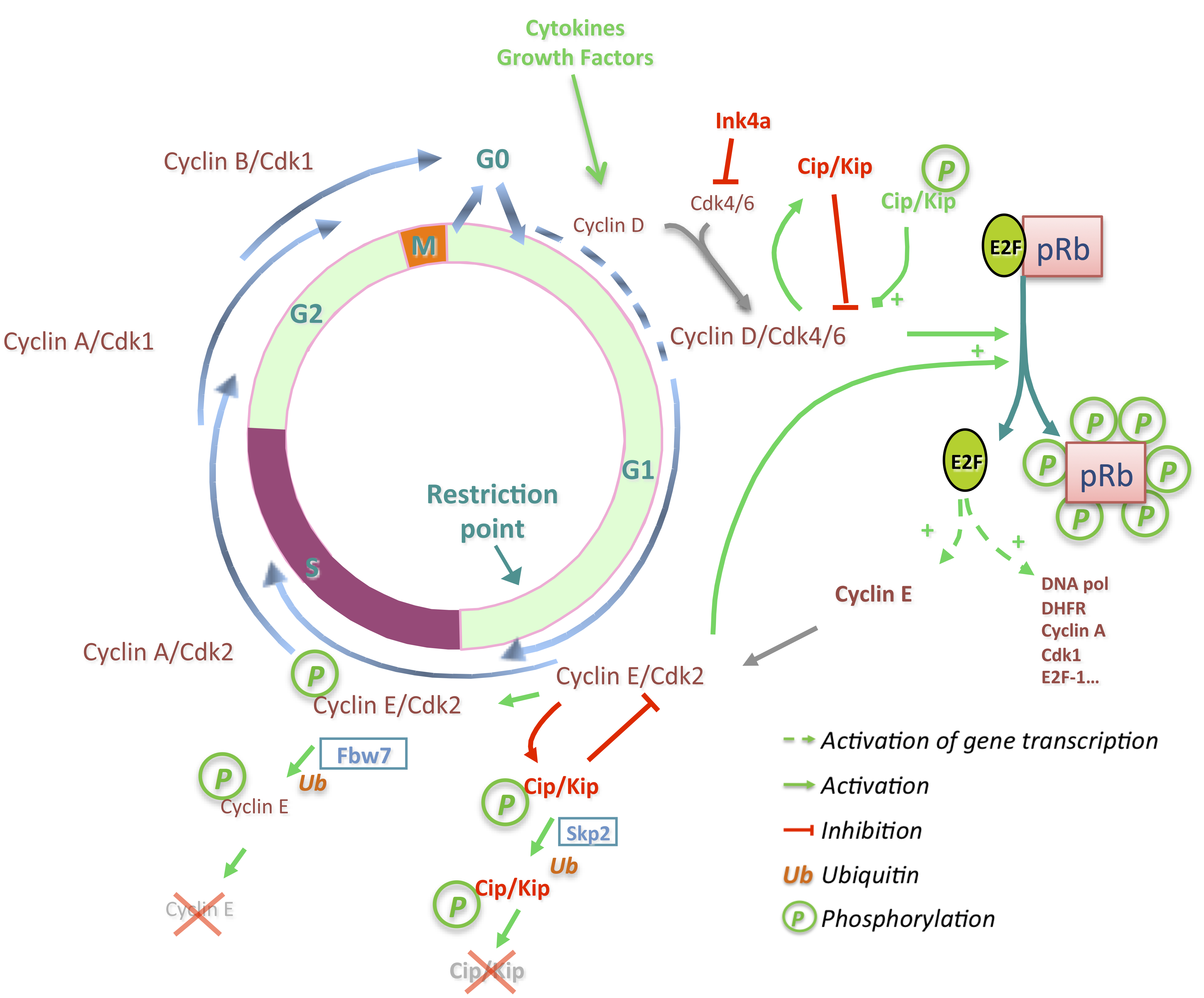 relationship between cell cycle and replication