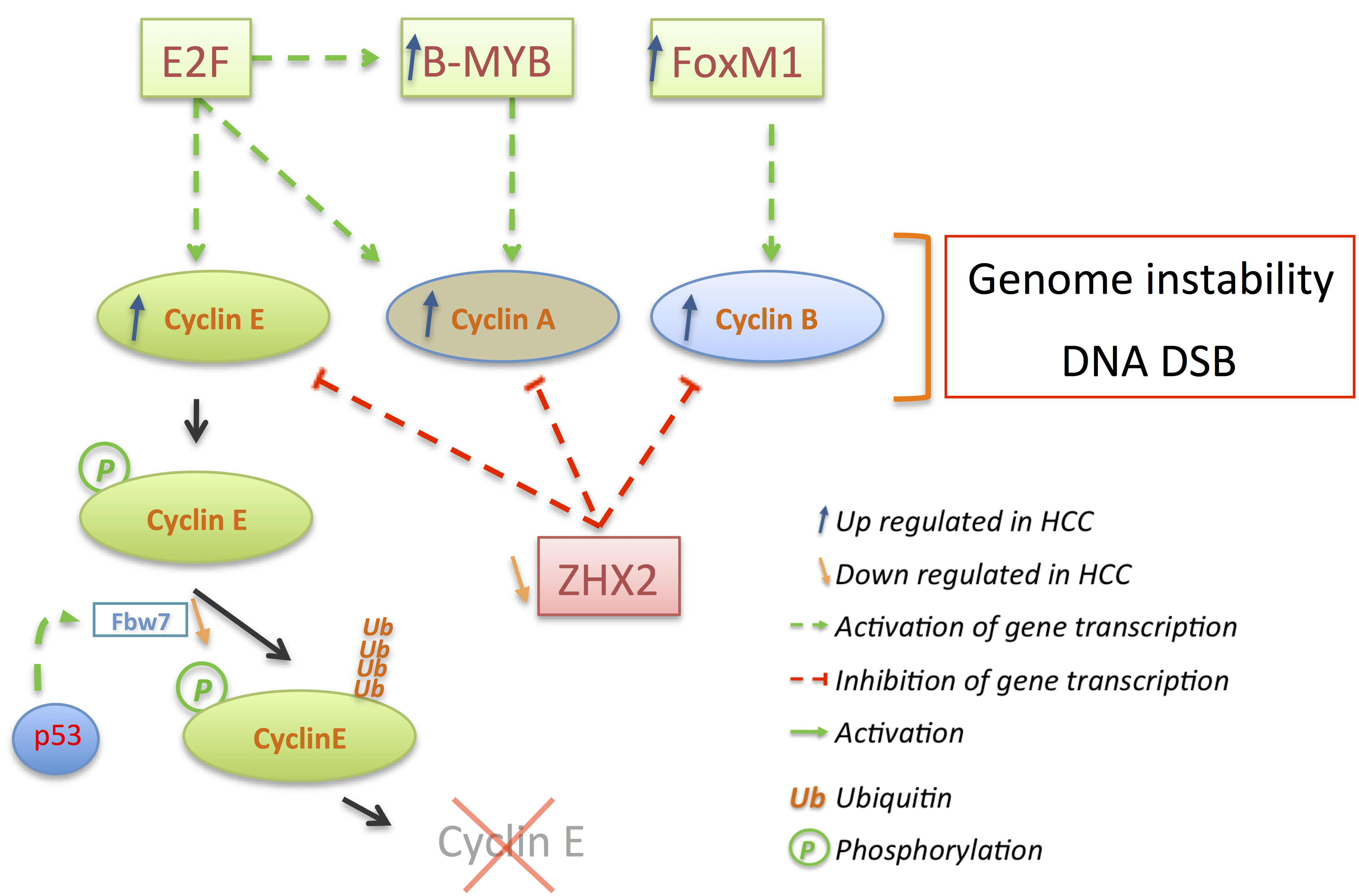 relationship between cell cycle and cancer